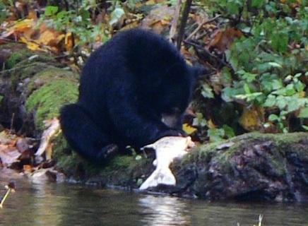 bear2lp