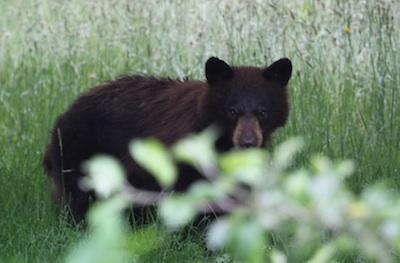 Bears everywhere BNH